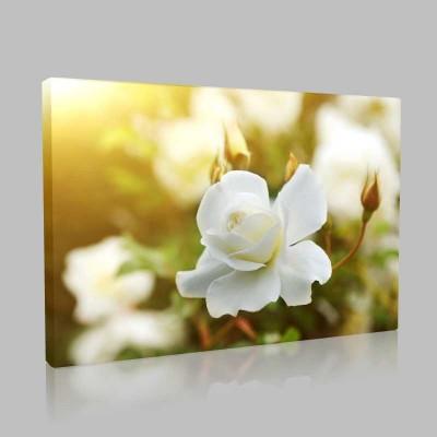 Beyaz Güller Kanvas Tablo