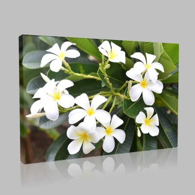 Frangipani Çiçeği Kanvas Tablo
