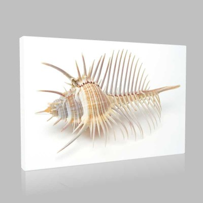 Sivri Deniz Kabuğu Kanvas Tablo