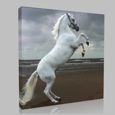 Şahlanan Gri Arap Atı Kanvas Tablo