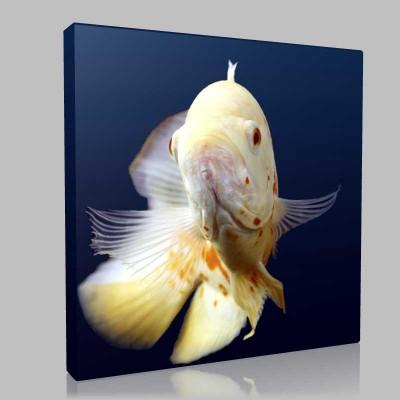 Beyaz Japon Balığı Kanvas Tablo