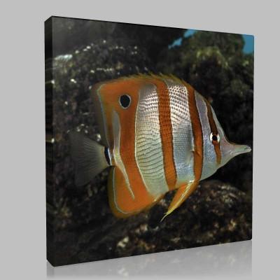 Clown Fish 1 Kanvas Tablo