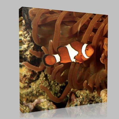Clown Fish 2 Kanvas Tablo