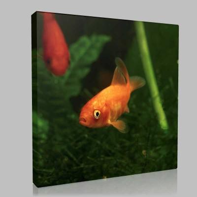 Gold Fish Kanvas Tablo