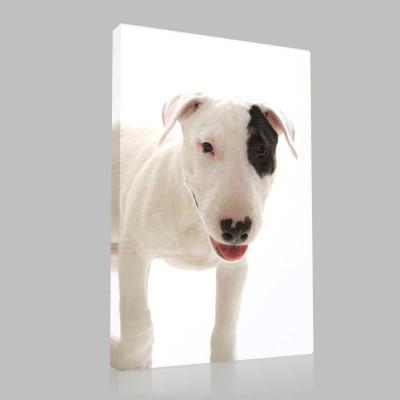 Bull Terrier 1 Kanvas Tablo