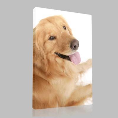 Golden Retriever Ergin Kanvas Tablo