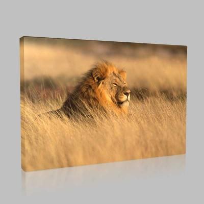 Lion At Savannah Kanvas Tablo