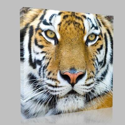 Bengal Kaplanı Portre Kanvas Tablo